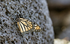 "Monarch • <a style=""font-size:0.8em;"" href=""http://www.flickr.com/photos/48405916@N08/24636292628/"" target=""_blank"">View on Flickr</a>"