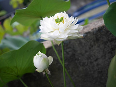 Sacred Lotus 'White Maldives' Wahgarden Thailand 2 (Klong15 Waterlily) Tags: whitemaldives lotus sacredlotus thailotus flower lotusflower wahgarden