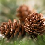 Three Pine Cones thumbnail