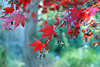 Japanese Maple (Mah Nava) Tags: ahorn maple japanesemaple autumn herbst blätter leaves red rot