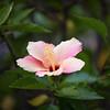 The Last Rays D7C_5764 (iloleo) Tags: hibiscus flower garden nikon d750 colourful nature