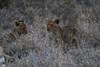 Lion Cubs, Timbavati (Mike/Claire) Tags: lioncub 2016 southafrica tandatula timbavati