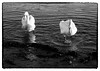 Swans (Eline Lyng) Tags: swan pair swanpair coastline seascape nature larkollen norway støtvig animal leica m m240 leicam240 summilux50mm14asph 50mm summilux monochrom monochrome bw blackandwhite winter manuallens leicalens