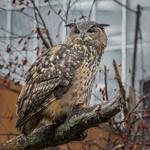 Eurasian Eagle-Owl, National Aviary (Pittsburgh, PA) thumbnail