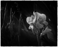 She waited in the darkness, but he never appeared (Oliver Leveritt) Tags: iris monochrome blackandwhite flower bloom iowa vanderveer botanical park garden nikond610 afsnikkor70200mmf28gedvrii oliverleverittphotography