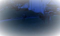 "(""do we know each other?"") (William Keckler) Tags: deer walk walking know knowledge stranger 35mm film analog"