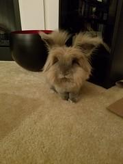 Roy (Pinky Earl) Tags: rabbit bun bunny conejo usagi lapin