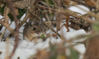 Wood Mouse-4232