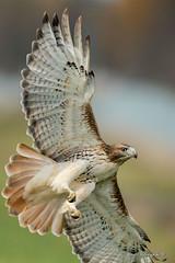 Bottom view (Earl Reinink) Tags: hawk bird flight animal raptor wings earl reinink earlreinink riddhdaaia redtailedhawk