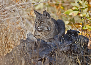 A brief history of the female Bobcat refered to as
