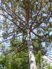 Lac du Flambeau, WI, North Woods, Pine Tree (Mary Warren 9.6+ Million Views) Tags: lacduflambeauwi northwoods nature flora trees green forest needles branches