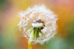 Fluffy Dandelion (oandrews) Tags: autumn canon canon70d canonuk dandelion flora flower garden nature outdoors petals pink plant plants seed seedhead seeds