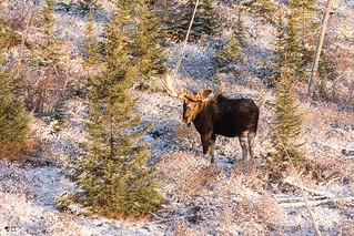 ''Le regard!'' Orignal-Moose