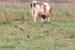 velduil landt in polders (francisdeclercq) Tags: uitkerksepolders velduil focusonphotography shorteared owl hibou francisdeclercq