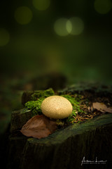 Every Mushroom Knows Its Place (Alec Lux) Tags: autumn bokeh branches brown closeup daylight forest fungi fungus green ground landscape leave light macro moss mushroom mushrooms nature season tree woods brakel vlaanderen belgium be
