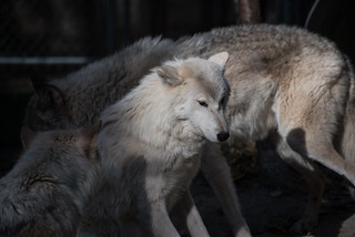 Wolves - Canada