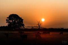 Early one autumn morning (BobMah) Tags: 7d2 canon7dmarkii dawn goldenhour kingssutton mist sunrise