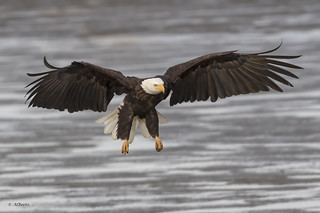 Bald Eagle / Pygargue à tête blanche