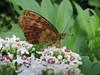 Brenthis_sp_nacré (bouillons vagabonds) Tags: bosnie lépidoptères rhopalocères