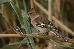 Common chaffinch (Dave 5533) Tags: commonchaffinch songbird wildlife naturephotography birdsinisrael canoneos1dx ef300mmf28lisiiusm birds ourdoor animals animal songbirds bird