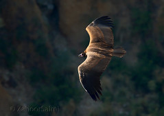 Cinereous vulture (Zahoor-Salmi) Tags: zahoorsalmi salmi wildlife pakistan wwf nature natural canon birds watch animals bbc flickr google discovery chanals tv lens camera 7d mark 2 beutty photo macro action walpapers bhalwal punjab