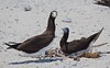 Brown Booby pair (Sula leucogaster) (tregotha1) Tags: michaelmas cay