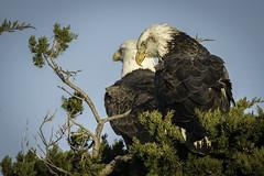 Bald Eagles (Joseph M. Campbell) Tags: edwinbforsythenwr nature newjersey newjerseywildlife wildlife raptors
