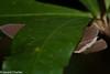 Capila hainana hainana (Hainan Dawnfly) - Female (GeeC) Tags: animalia arthropoda butterfliesmoths cambodia capila capilahainanahainana hainandawnfly hesperiidae hesperioidea insecta kohkongprovince lepidoptera nature pyrginae skipperbutterflies tatai