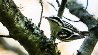 Black-and-white Warbler with insect