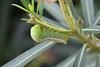 army green moth (praveen.ap) Tags: daphnis nerii daphnisnerii army green moth armygreenmoth oleander hawkmoth oleanderhawkmoth