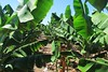 green plantation :) (green_lover) Tags: plantation banana plants leaves green tenerife canaryislands spain 7dwf