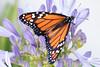 365-336 (Letua) Tags: 365project agapanthus butterfly closeup flor flores flower flowers jardin lila lilac mariposa monarca naranja naturaleza nature orange primavera spring violet violeta