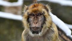 Berberaffe im Schnee (karinrogmann) Tags: berberaffe magot barbarymacaque bertuccia zooschönbrunn wien