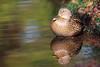 Duck (Teruhide Tomori) Tags: kyoto japan japon animal bird wild fuck pond カモ aquaticbird 野生 冬鳥 日本 京都 水鳥 water reflection