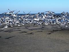 Flock flies away (thomasgorman1) Tags: flock flight seagulls birds canon sea shore sandbar beach nature wildlife baja mexico gulls outdoors cortez