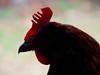 red comb (migueldeozarko) Tags: chicken rhodeislandred portrait