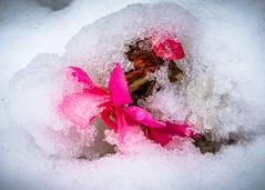 8225 (1 of 1) (sallyjane6) Tags: snow snowyday newlife buds winter bedford holly macro closeup