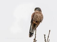 Fly attack! (ArtFrames) Tags: summerleys kestrel bird falco tinnunculus prey flies annoying perch