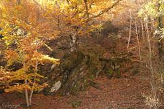Magestuosa... (cienfuegos84) Tags: autum otoño hayas marron amarillo verde naturaleza nature ra belleza otra belle