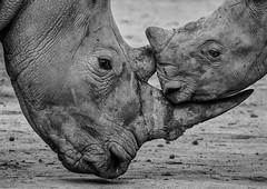 Mother & Calf (ToriAndrewsPhotography) Tags: rhinoceros white baby calf mum photography andrews tori