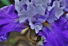 DSC_0008 My Garden: Tall beared Iris (aciamax) Tags: maxbeach aciamax mygarden hybred tallbearediris bluefloewrs bicoloured macro melbourne victoria australia