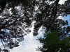 Pine trees (kevincrumbs) Tags: matsushima 松島 fukuura 福浦 fukuurajima 福浦島