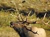 9045ex  Call of the Wild (jjjj56cp) Tags: elk bullelk bugling buglingelk rmnp rockymountainnationalpark nationalpark co colorado inthewild antlers closeup details profile portrait p900 jennypansing meadow