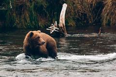 Katmai Brown Bear (Brian.Buckler) Tags: brooks falls alaska canon 5d brian buckler ak katmai bear brown fishing
