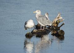 Afternoon sunning (ardeth.carlson) Tags: bird gulls lake herringgull colorado