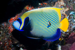 Emperor Angelfish, Eastern form - Pomacanthus imperator