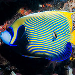 Emperor Angelfish, Eastern form - Pomacanthus imperator thumbnail