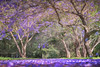The Jacaranda Trail || HAWKESBURY || NSW (rhyspope) Tags: australia aussie nsw new south wales hawkesbury blue mountains flower floral jacaranda purple tree amazing explore awesome rhys pope rhyspope canon 5d mkii nature stunning color colour lilac lavender