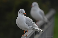 Eine ist scharf - Gulls - Möwen (Susanne Weber) Tags: gulls möwe möwen gull tier animal vogel bird vögel scharf unscharf