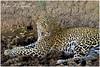 The Green-eyed Feline! (MAC's Wild Pixels) Tags: thegreeneyedfeline leopard pantherapardus femaleleopard cat bigpussycat wildlife animal mammal africanwildlife safari gamedrive wildpussy wildanimal wildafrica beautifulpussy masaimara maasaimaragamereserve kenya carnivore hunter predator spottedfeline macswildpixels ngc